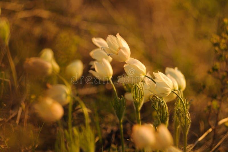 Цветок Pasque зацветая на утесе весны на заходе солнца стоковое фото rf