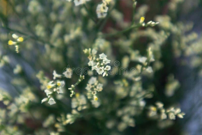цветок Plumbaginaceae-отрезка стоковая фотография rf