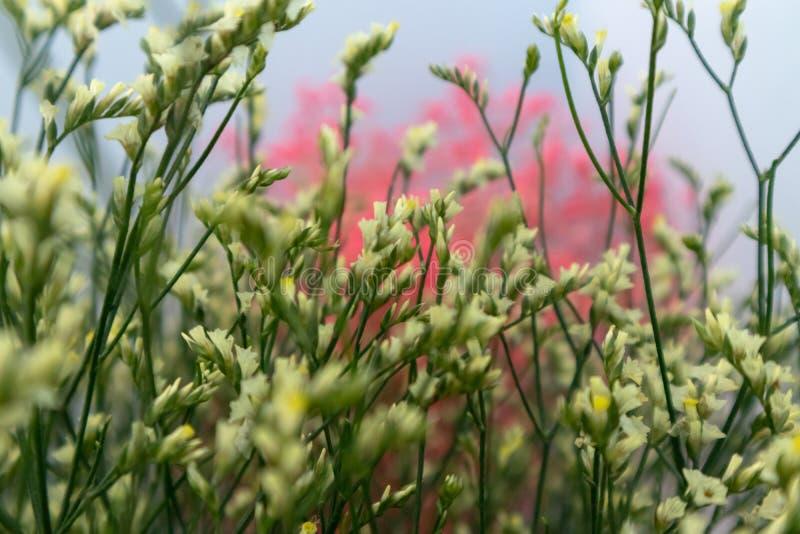 цветок Plumbaginaceae-отрезка стоковые изображения