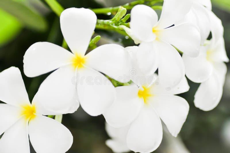 Цветок Plumeria или дерево пагоды стоковое изображение