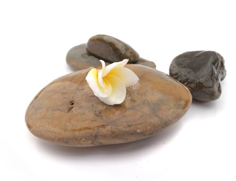 Цветок Plumeria на камне для курорта ослабляет, подача frangipani тропическая стоковое фото