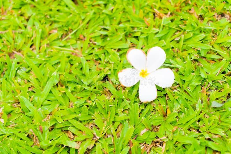 Цветок Plumeria на поле травы стоковое изображение rf