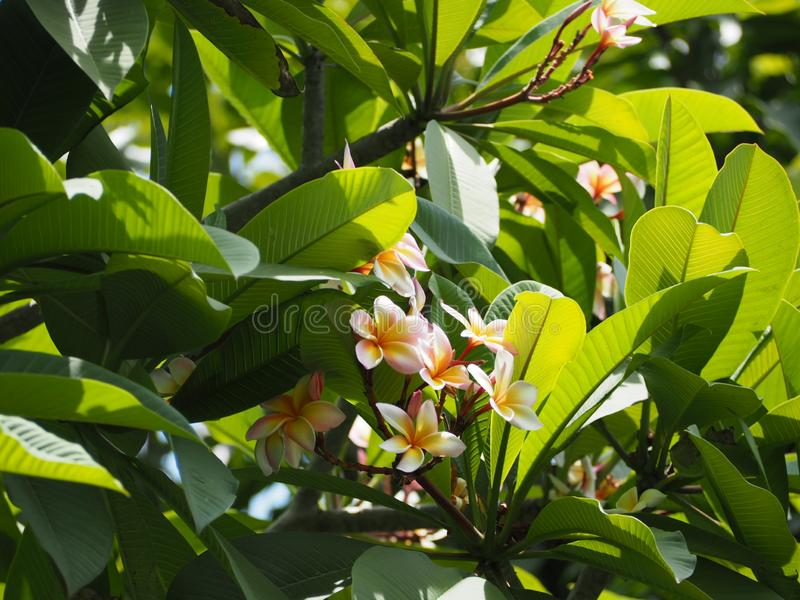 Цветок Plumeria от Таиланда стоковое фото rf