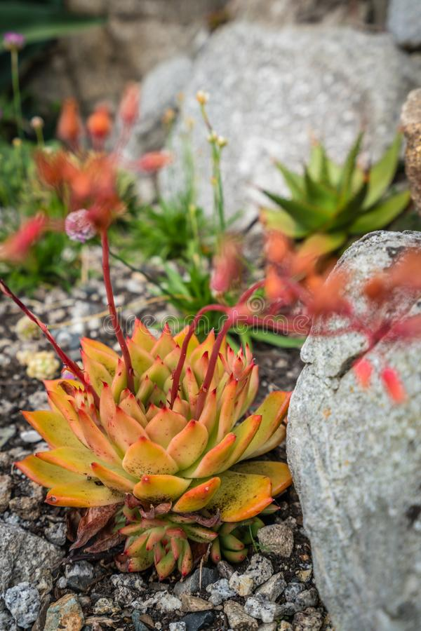 Цветок polyphylla алоэ стоковое фото