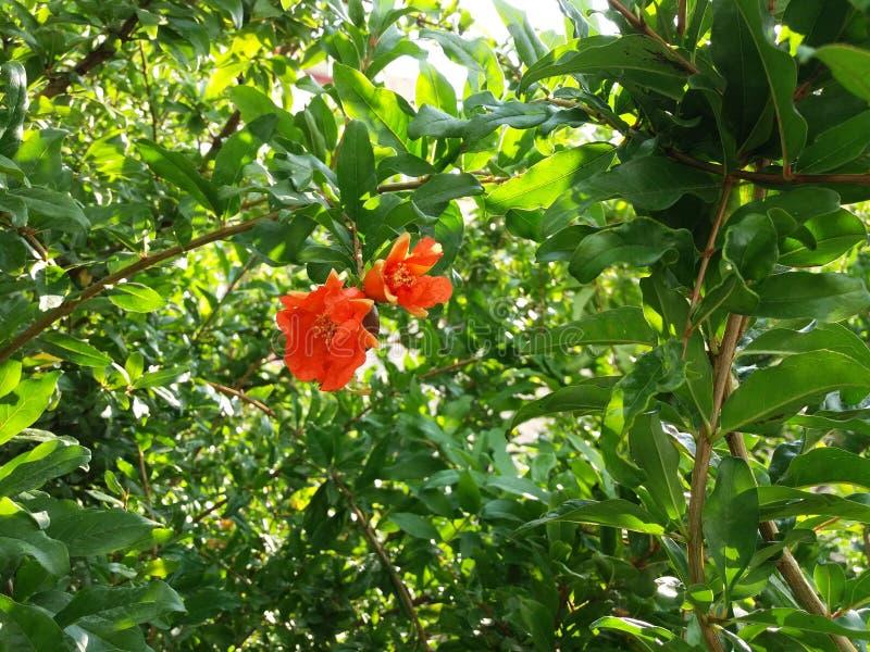 Цветок Pomegranade стоковая фотография
