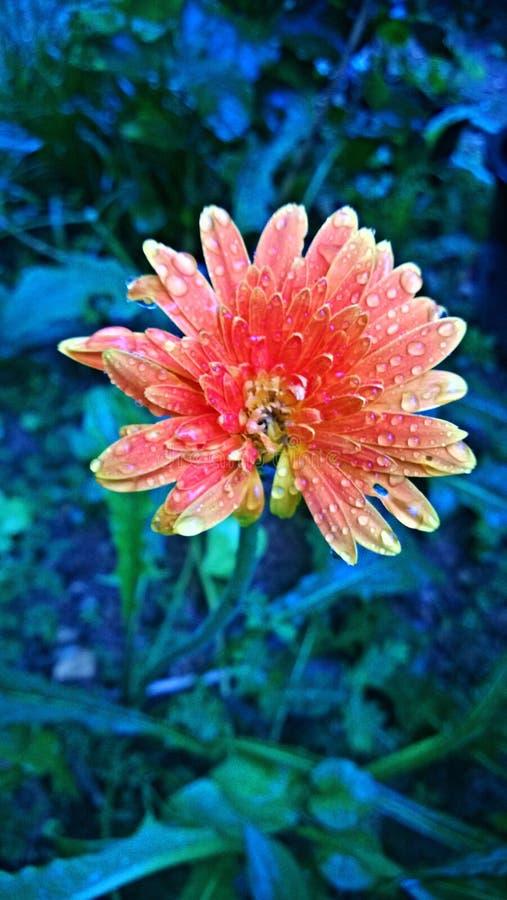 Цветок rany стоковая фотография