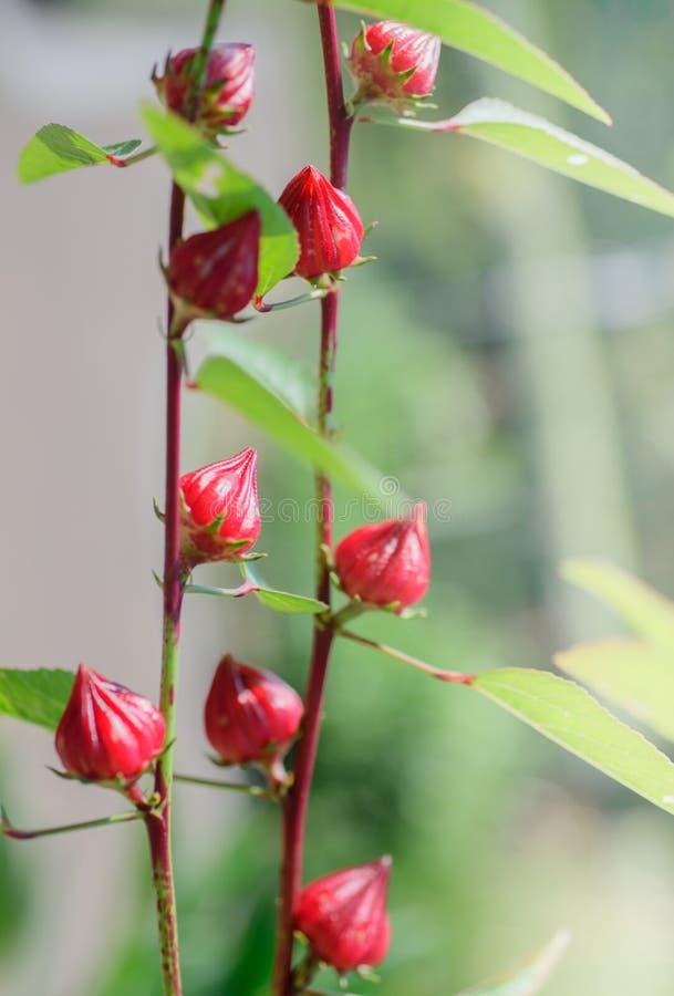 Цветок Roselle стоковое изображение