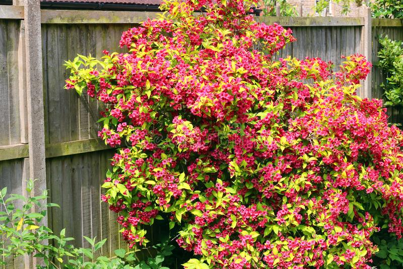 Цветок rubidor Weigela полностью стоковое изображение