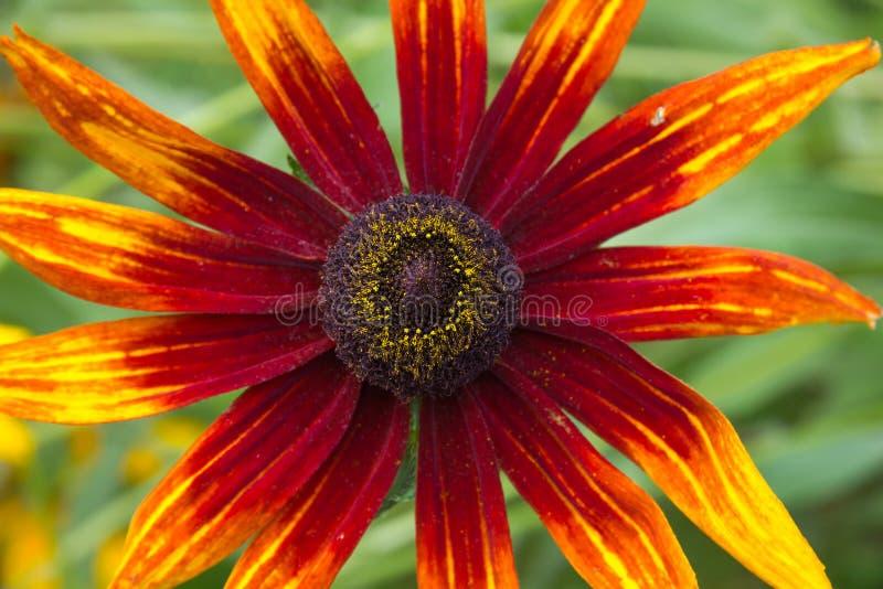 Цветок Rudbeckia coneflower стоковые фото