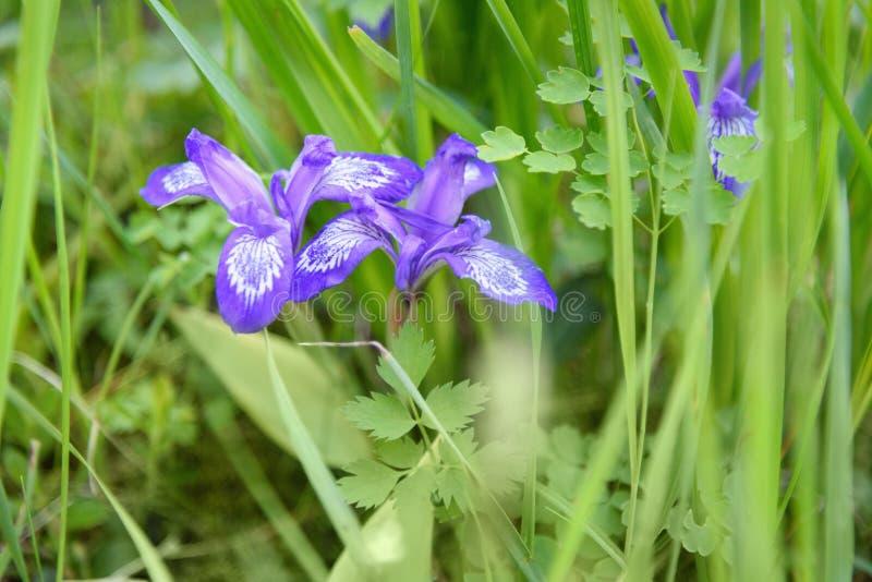 Цветок ruthenica радужки на Altai Россия стоковое фото
