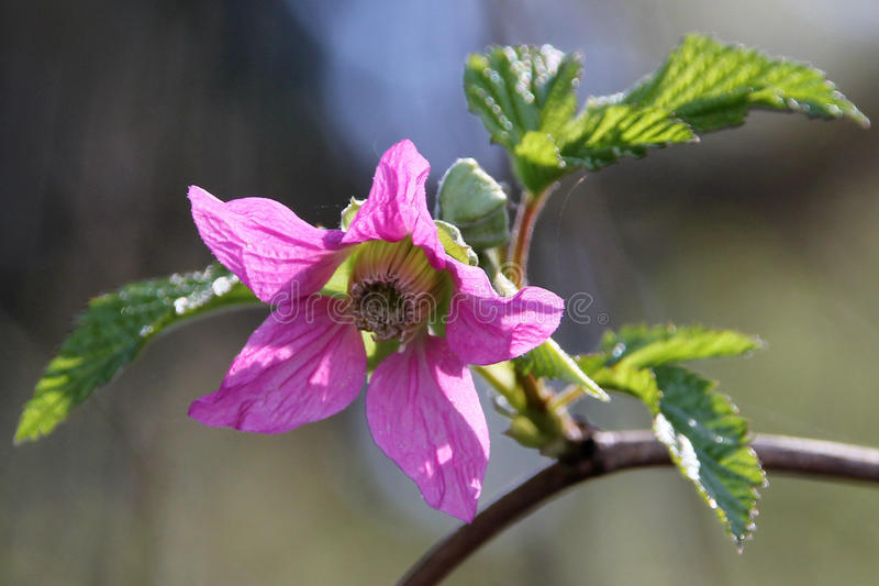 Цветок Salmonberry стоковые фото