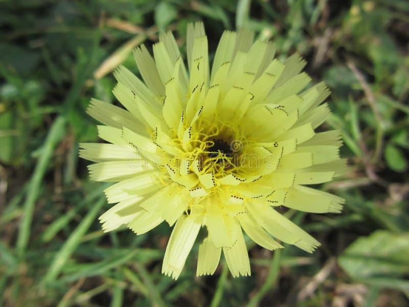 Цветок salsify луга также известный как борода показной козы или Джек идут положить в постель в полдень стоковые фотографии rf