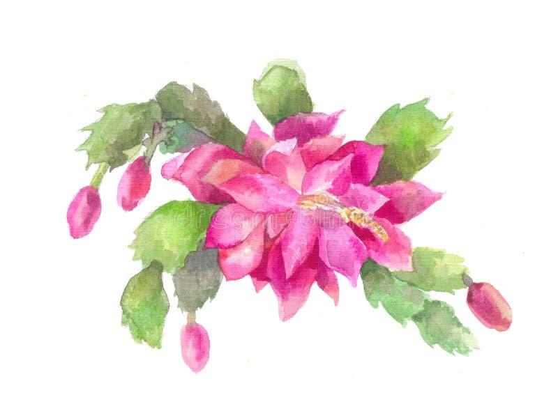 Цветок Schlumbergera, Zygocactus или рождества иллюстрация штока