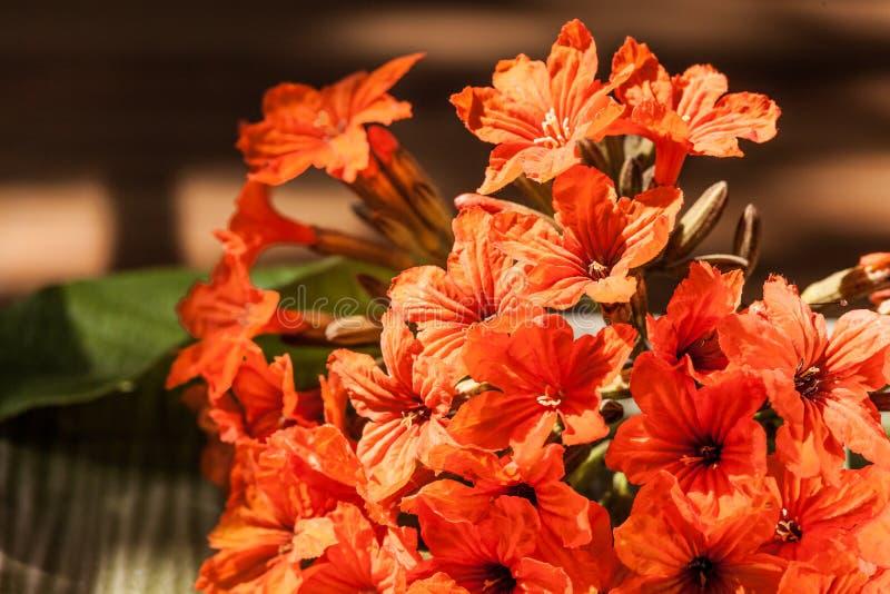 Download Цветок sebestena Cordia стоковое изображение. изображение насчитывающей флора - 33737353