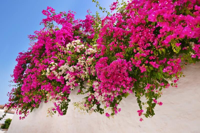 Цветок Sifnos Греция бугинвилии стоковая фотография