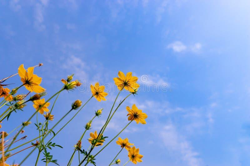 цветок Starburst взгляда муравья против голубого неба стоковое изображение rf