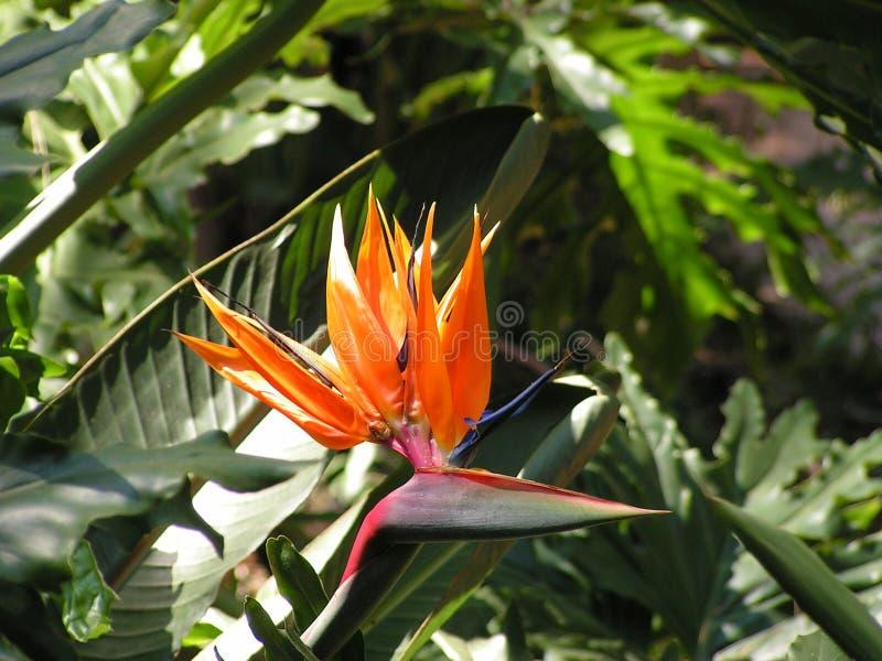 Цветок Strelitzia стоковые фотографии rf