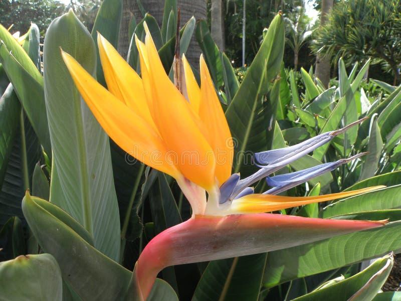 цветок tenerife стоковая фотография rf