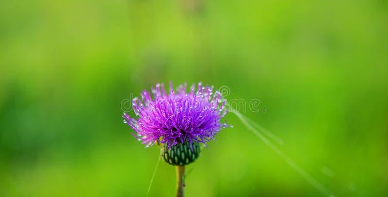 Цветок thistle в капельках росы на запачканном зеленом backgr стоковая фотография rf