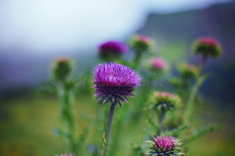 Цветок thistle в окружающей среде высокогорного луга стоковая фотография