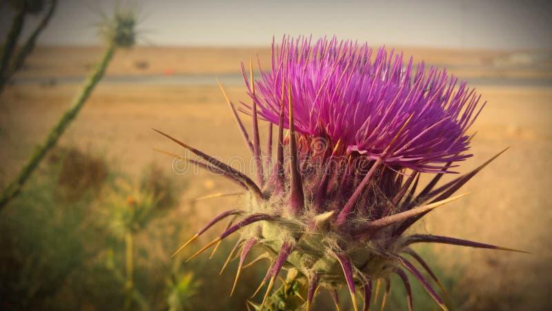 Цветок Thistle пустыни стоковое изображение rf