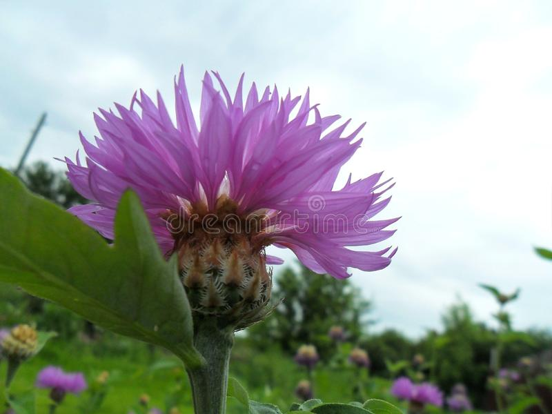 Цветок thistle сирени стоковые фотографии rf