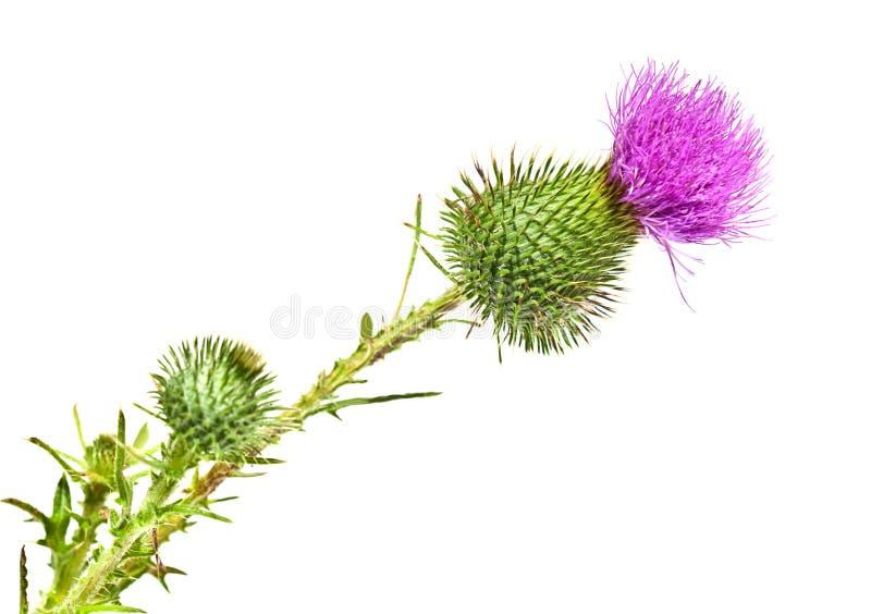 Цветок Thistle стоковая фотография rf