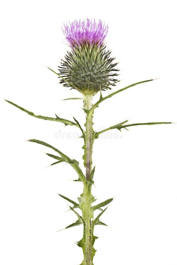 Цветок Thistle стоковые изображения rf