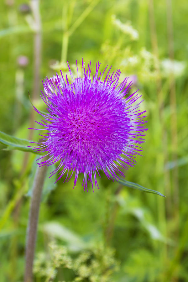 Download Цветок Thistle стоковое изображение. изображение насчитывающей холодно - 41660715