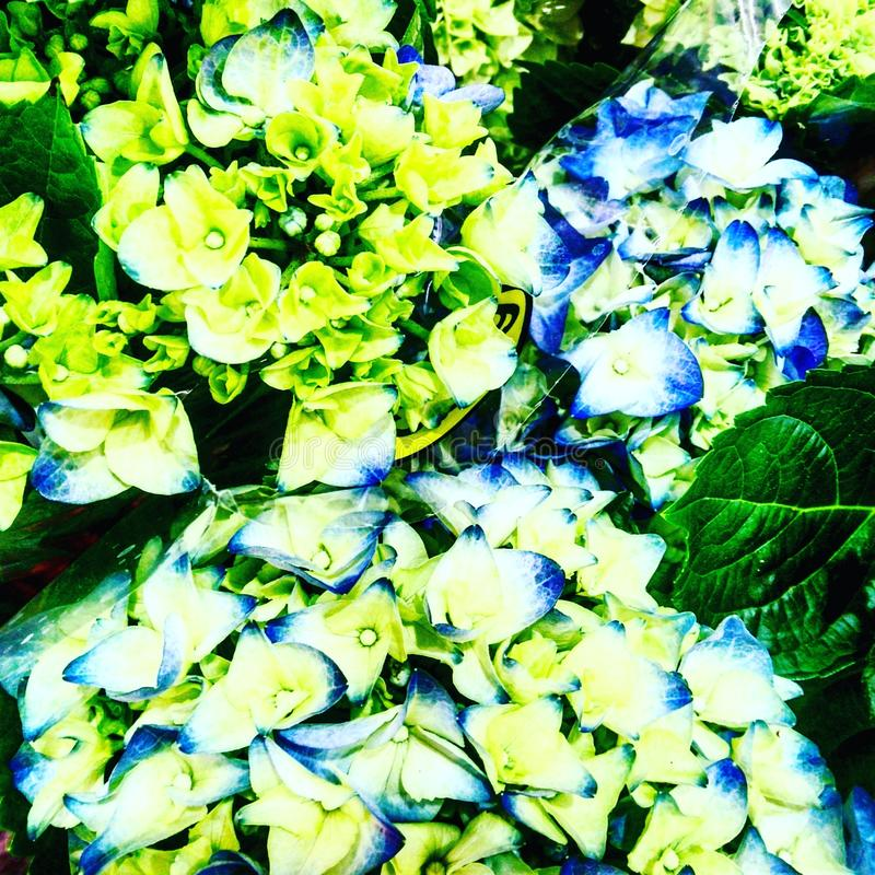 Цветок Toulousain стоковое фото rf