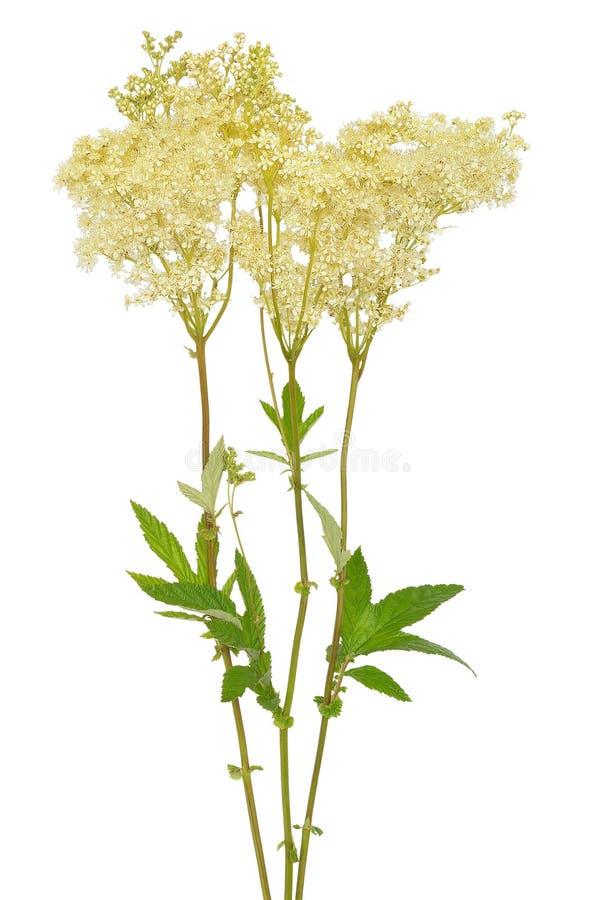 Цветок ulmaria Filipendula стоковые фото