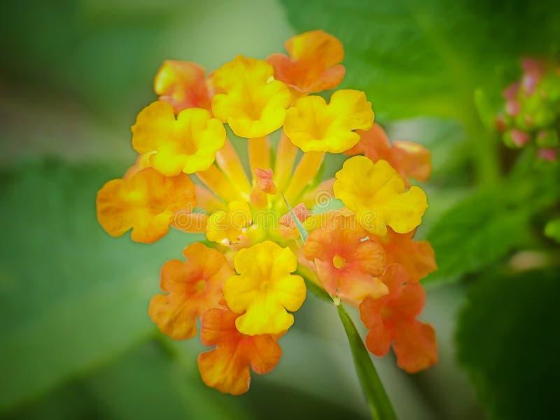 Цветок urticoides Lantana стоковое фото rf