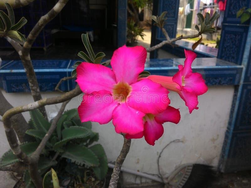 Цветок v2 Frangipani стоковые изображения rf