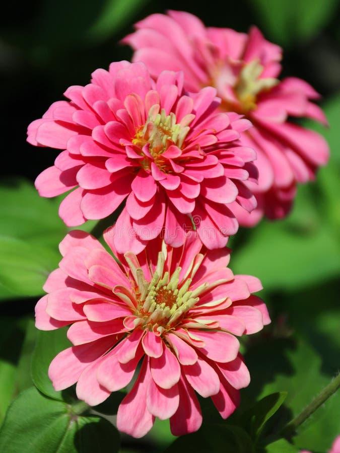 Цветок Zinnia, африканская маргаритка - violacea Zinnia стоковая фотография rf