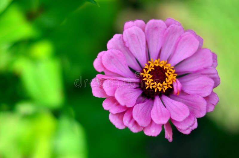 Цветок Zinnia в Shalimar Bagh стоковые изображения