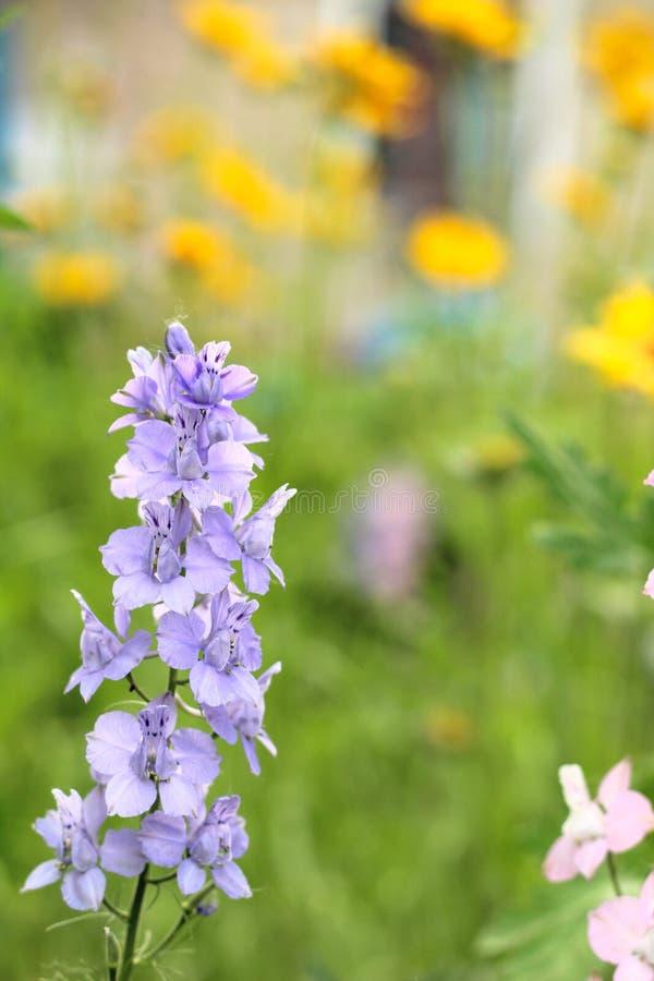 цветорасположение голубых цветков на предпосылке старого голубого частокола стоковое фото