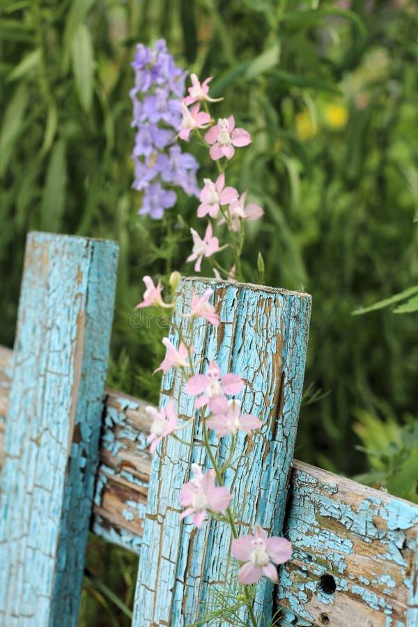 цветорасположение голубых цветков на предпосылке старого голубого частокола стоковые фото