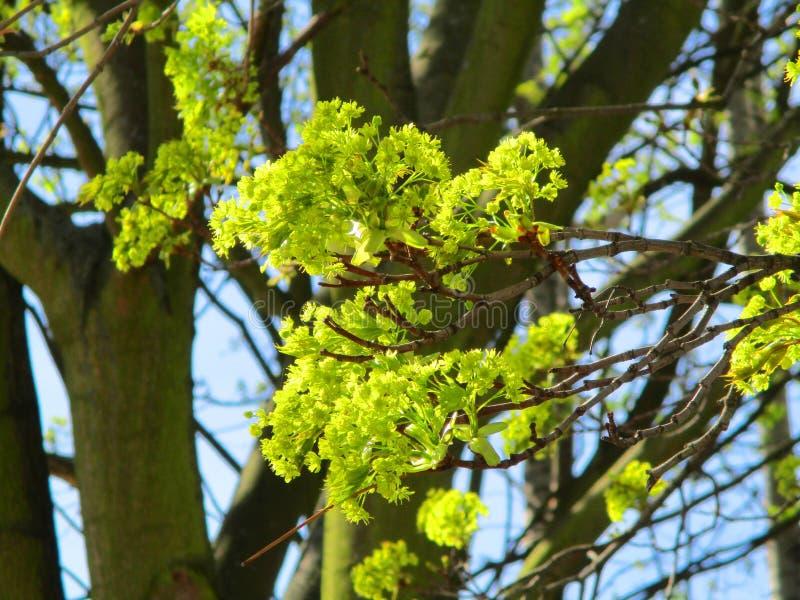 Цветорасположение общего maple1 стоковая фотография rf