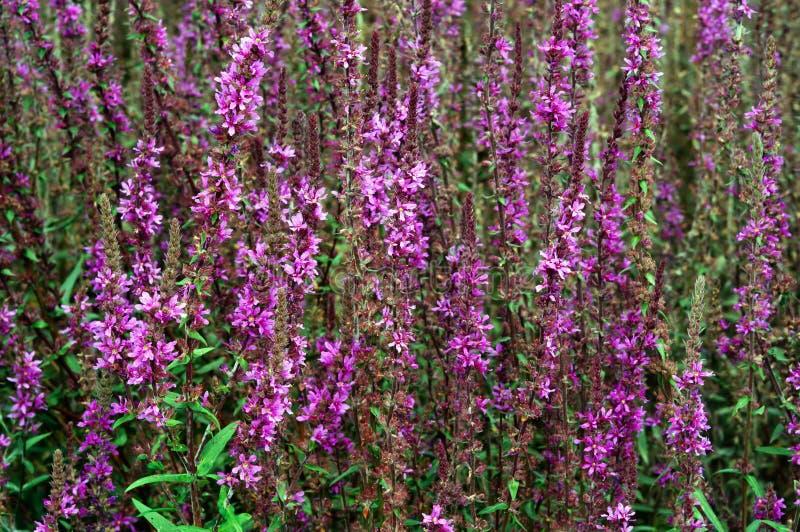 Цветорасположение пурпурного вербейника в саде стоковое фото rf