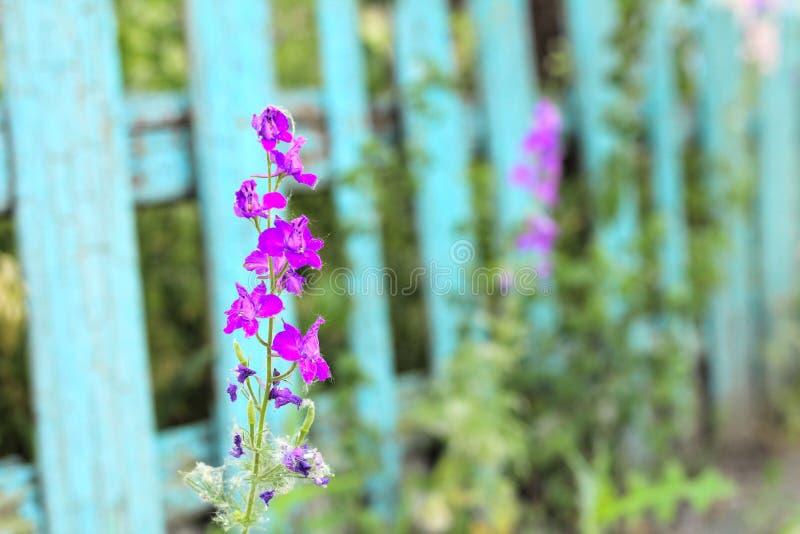 Цветорасположение розовых цветков на старом голубом частоколе стоковые фото