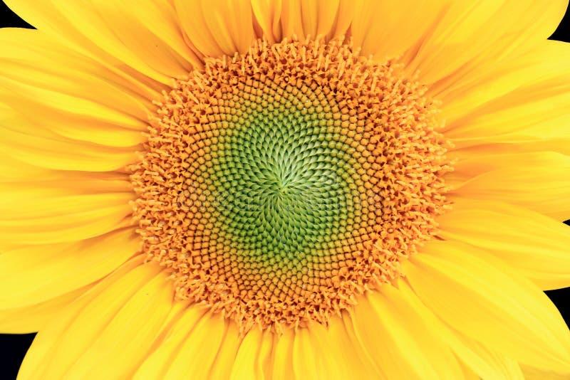 Цветорасположение солнцецвета полностью, конец-вверх стоковые изображения rf