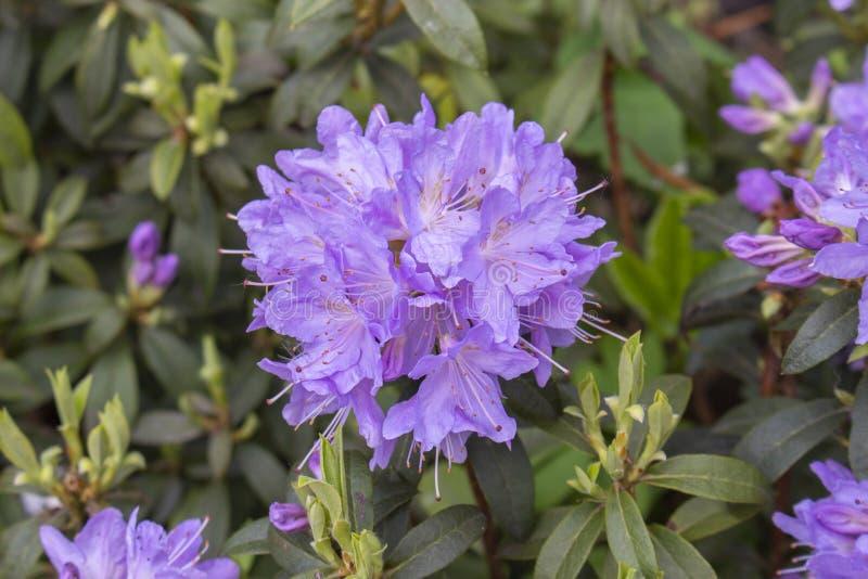 Цветорасположение цветка круглого шарика пурпурного рододендрона сирени большое Зацветая листья бутонов лепестков рододендрона кр стоковые фото