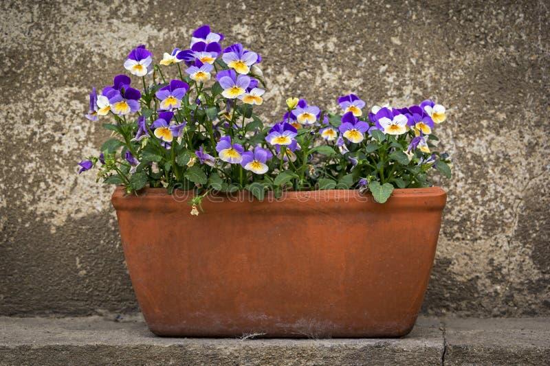 Цветочный горшок с Pansies стоковое фото rf
