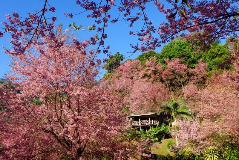 Цветочный сад вишневого цвета или Сакуры на Doi Suthep Chiangmai, Таиланде стоковое фото rf