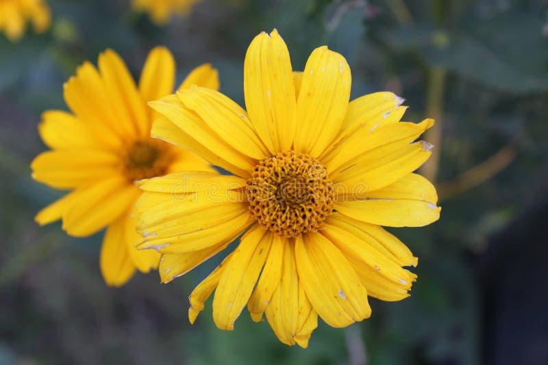 Цветочный сад вызвал ` декоративным ` маргаритки стоковые изображения rf