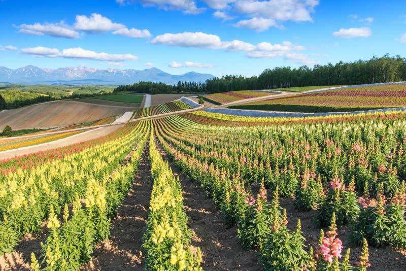 Цветочный сад в Kamifurano, с горным видом в Furano, Хоккаидо Япония стоковое изображение