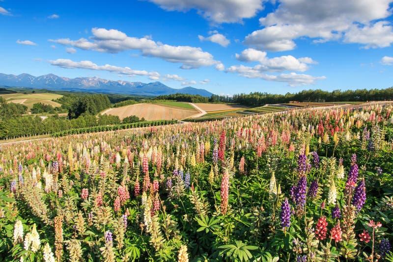 Цветочный сад в Kamifurano, с горным видом в Furano, Хоккаидо Япония стоковые изображения