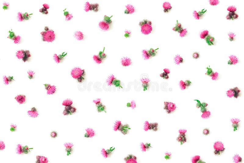Цветочный узор сделанный розового ` s thistle цветет с терниями на белой предпосылке Плоское положение, изолированное взгляд свер стоковые фотографии rf