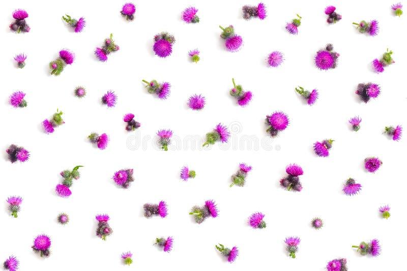 Цветочный узор сделанный фиолетового ` s thistle цветет с терниями на белой предпосылке Плоское положение, изолированное взгляд с стоковые изображения