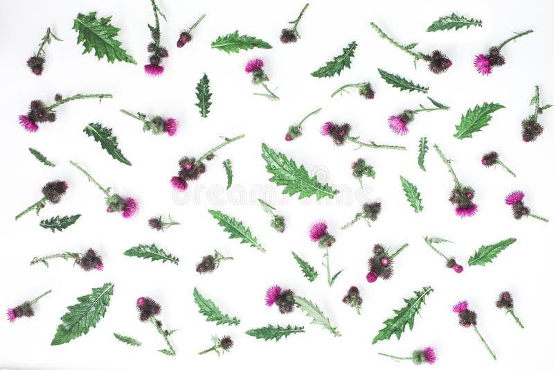 Цветочный узор сделанный thistle с розовыми и фиолетовыми цветками, зелеными листьями, ветвями и терниями на белой предпосылке Пл стоковые изображения rf
